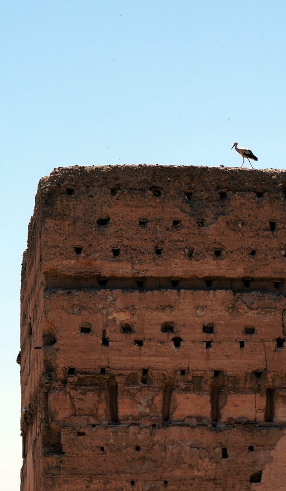 The Storks who Rule Marrakech
