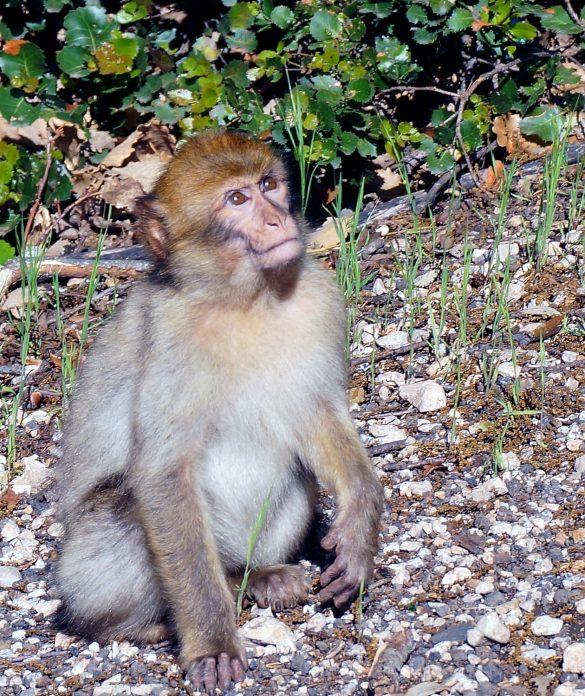 Barbary Macaques on the Road