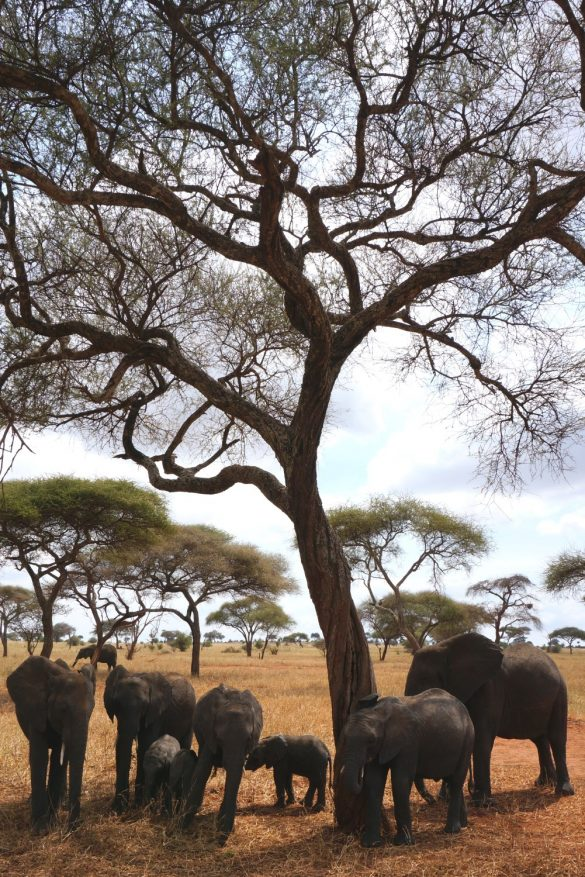 Elephant Herd Under the Acacia